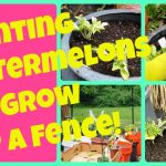 Planting Watermelon Seedlings To Grow Up A Fence   Vertical Container Gardening Watermelons