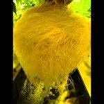 Alien RDWC PRO hydroponic system cannabis grow