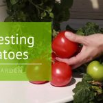 How to Harvest Your Tower Garden® Tomatoes: Tower Tips