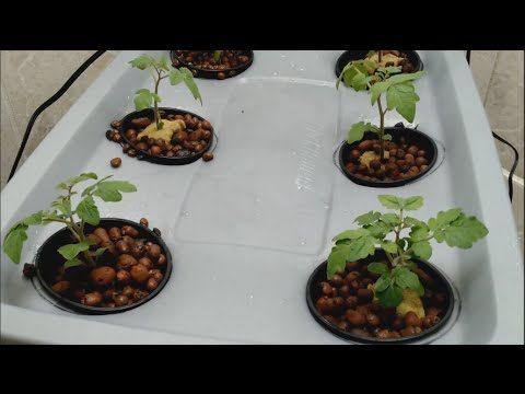 custom hydroponic setup for dwarf tomatoes