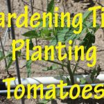 Gardening Tips: Planting Tomatoes