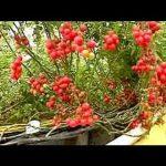 Soil-less farming: 25 kg of tomatoes per plant