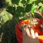 Organic Garden Set Up Beans Hydroponics