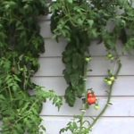 Winter Hydroponic Tomatoes part 3