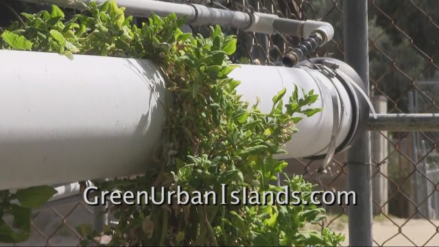 Vertical New Zealand Spinach in PVC Hydroponic Garden — Success and Failure of Experiment
