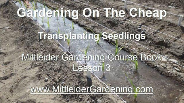 GARDENING ON THE CHEAP: Transplanting Seedlings