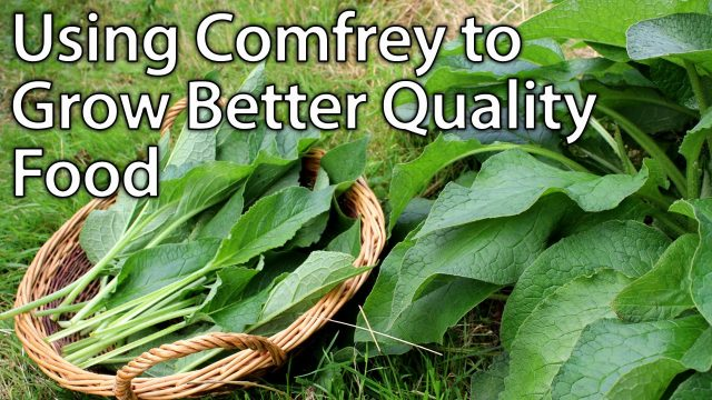 Growing and Using Comfrey – Perfect Plant for Permaculture Vegetable Gardening
