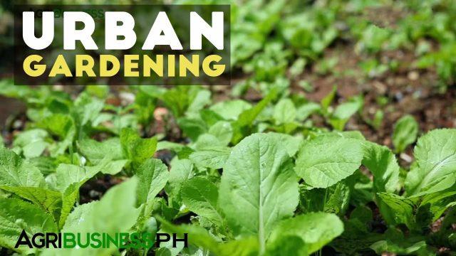 Urban Gardening : Best Practices in Urban Gardening   Agribusiness Philippines