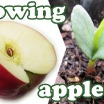How To Grow An Apple Tree From Seeds – Growing Apples Fruits – Planting Dwarf Fruit Trees – Jazevox