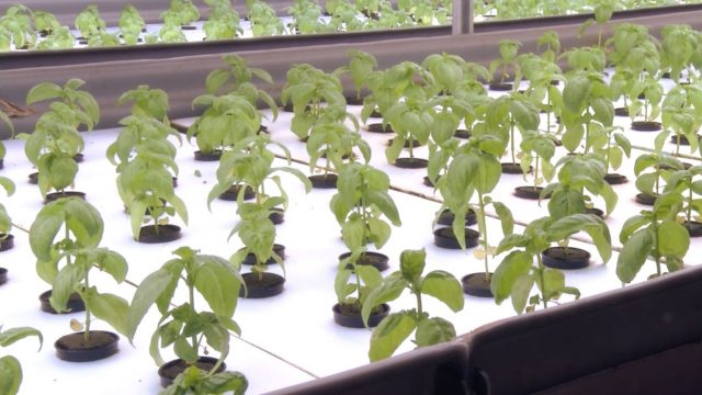 How FarmedHere uses aquaponics to serve customers locally produced food