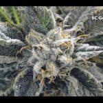 How To Grow Weed indoor Romulan hydroponics sin semilla sativa indica THC harvest