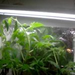 Growing hydroponic tomatoes indoors #7