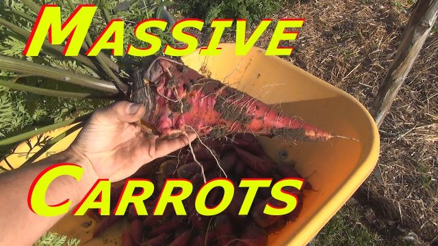 Huge Carrot Harvest #141 Heirloom Organic Vegetable Garden