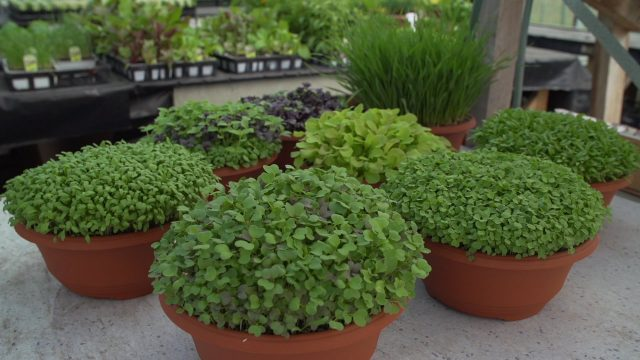 How To Grow Microgreens And The Benefits Of Wheatgrass