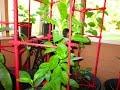 Indoor Gardening Year Round Edible Plants ~ Longevity Spinach