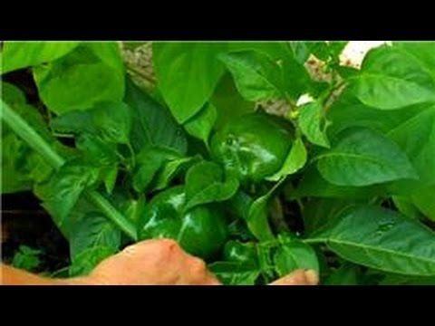 Vegetable Gardening : Vegetable Garden Companion for Planting Bell Peppers