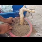 Hunting of banyan tree from wall ,root pruning,tips to grow plant ,and making bonsai in hindi/urdu