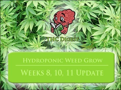 Growing Weed with a Hydro System – Weeks 8-11, Flowering and Trimming