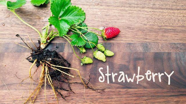 How-To Grow Strawberries | IN BETH'S GARDEN