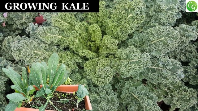 Growing Kale – A Complete Guide To Grow The Best Kale In Your Garden