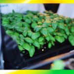 Hydroponics Growing Technologies (Laboratory Tests, Vertical Farming and Aeroponics Vertical Towers