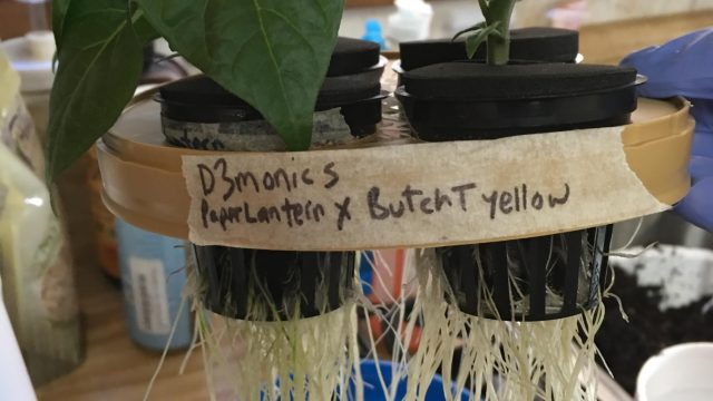 How to make a hydroponic water culture system from a coffee container