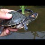 Pangshura tecta / kachuga tecta / indian roofed turtle