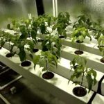 39 Pepper Aeroponic Rail System- Basic Overview