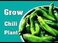 How to Grow Chilli from Seed / Grow Your Own Vegetable / Gardening Hindi Video // Mammal Bonsai