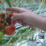 Produce Geek – Cluster Tomatoes! See how they're grown in hydroponic greenhouses.