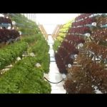 amazing vegetable on hydroponic farming system 4
