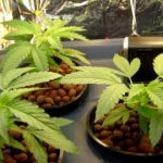 how to grow weed in hydro