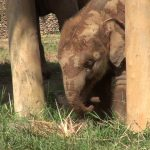 Baby Elephant Dok Rak Playing With Dry Grass Roof
