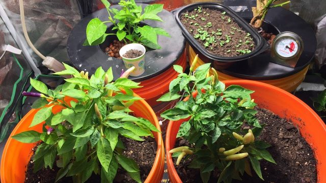 Taking Plants from Soil to Hydroponic (DWC) for Overwintering