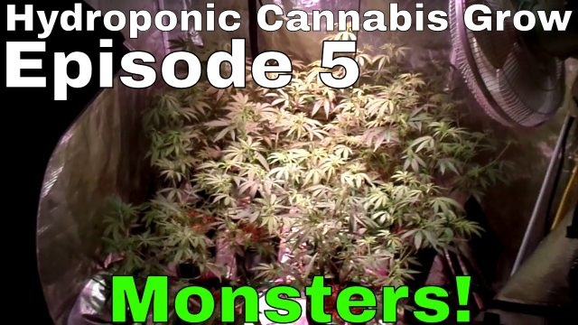 Hydroponic Cannabis Grow S01E05  – Flower Day 1 – Blue Planet Nutrients