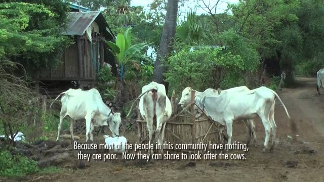 Cow Banks for Older People's Associations – HelpAge Cambodia