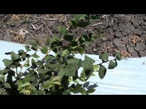 Blueberries, Cravo Demonstration and Education Center, April 26, 2015