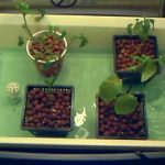 Cheap Ebb abd Flow homemade hydroponics system
