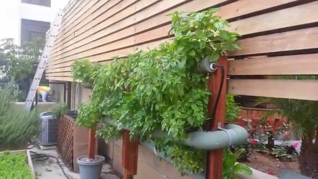 Growing Huge Hydroponic Basil and Parsley