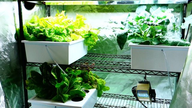 New Hydroponic Grow Tent Setup – Cucumber Plants Spreading!