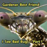 Praying Mantis – Best Natural Pest Control & benefits for your Garden  Part 1
