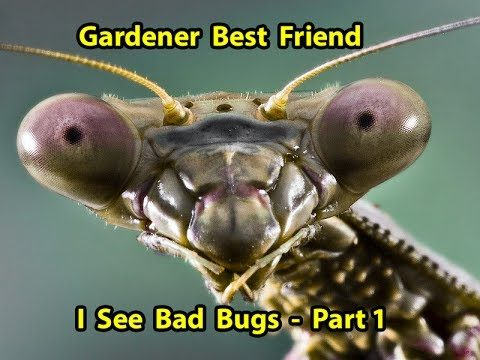 Praying Mantis – Best Natural Pest Control & benefits for your Garden  Part 1