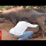 Special Story On Sangareddy Farmer Pratap Reddy   Green Fodder By Hydroponic Method   V6 News