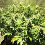 Hermie Weed Plant! – Hermaphrodite Cannabis – Indoor Gardening Grow Vlog