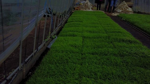 Rice Indoor Farming
