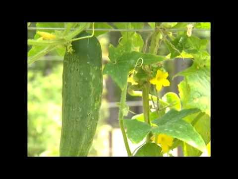 1-2-3 Done! – Building a Cucumber Trellis