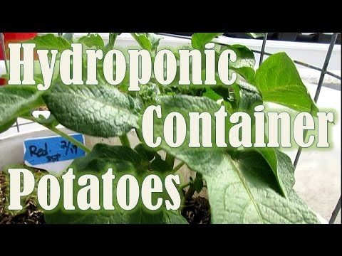 Hydroponic Container Potatoes in the Greenhouse