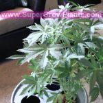 600 watt HPS Grow Tent Marijuana Hydroponics Purple Jems Buds Auto Flower weed indoor pot