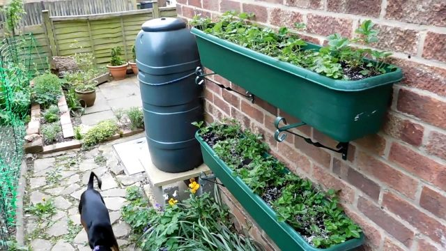 Alpine Strawberries Update – Planting Them Up The Wall