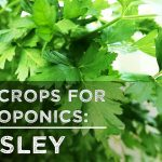 Best Crops for Hydroponics: Parsley